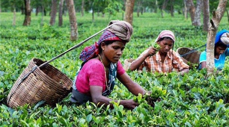 tea garden4_1